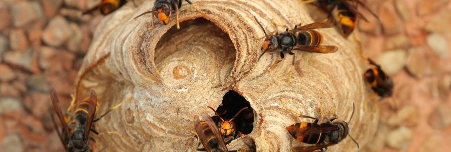 Frelons asiatiques : comment réagir à la découverte d'un nid ?